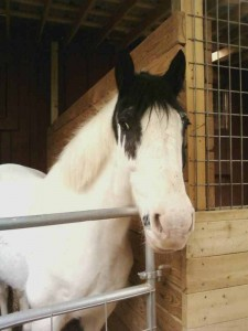 """Dallas"" Paint Cross Hunter/Jumper/Dressage"
