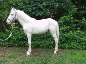 White draft horse for sale