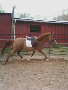 """Rhythm & Blues"" Dressage Prospect"